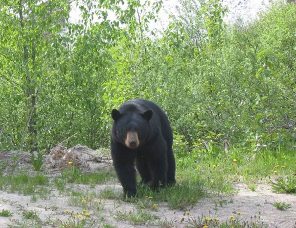 Yosimite National Park Black Bear Sighting