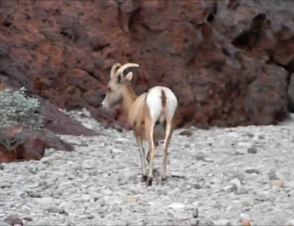 hike_arizona_hot_springs_bighorn_sheep