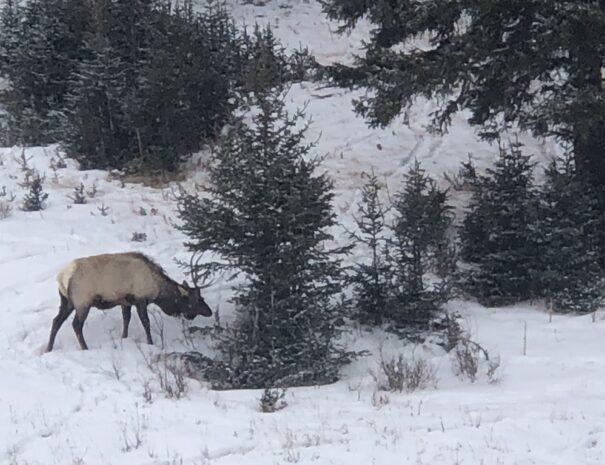 Elk in Winter Yellostone