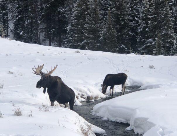 Moose eating at warm creek in Yellowstone Natonal Park